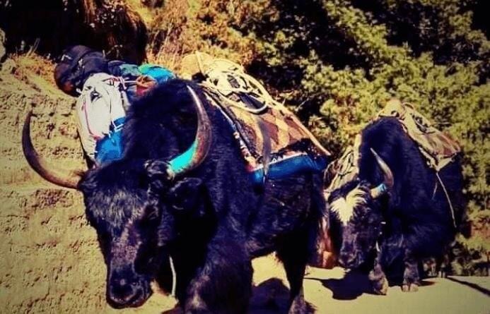 Yak-treks in Nepal